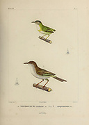 hand coloured sketch Top: short-tailed pygmy tyrant (Myiornis ecaudatus) [Here as Todirostrum ecaudatum]) Bottom: pearly-vented tody-tyrant (Hemitriccus margaritaceiventer [Here as Todirostrum margaritaceiventer]) From the book 'Voyage dans l'Amérique Méridionale' [Journey to South America: (Brazil, the eastern republic of Uruguay, the Argentine Republic, Patagonia, the republic of Chile, the republic of Bolivia, the republic of Peru), executed during the years 1826 - 1833] 4th volume Part 3 By: Orbigny, Alcide Dessalines d', d'Orbigny, 1802-1857; Montagne, Jean François Camille, 1784-1866; Martius, Karl Friedrich Philipp von, 1794-1868 Published Paris :Chez Pitois-Levrault et c.e ... ;1835-1847