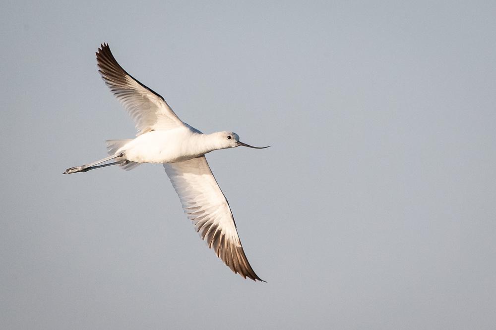 Recurvirostra americana, Aransas Bay near Rockport Texas, March 2019