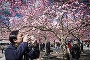 Det är populärt att fotografera körsbärsträden i Kungsträdgården när de står i blom på våren