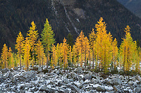Alpine Larches (Larix lyallii) in autumn color. North Cascades Washington