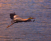 Great Blue Heron in flight over Highland Lake, Bridgton, ME