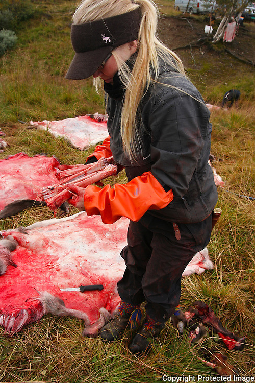 Reindeer slaghtering by the sami group of Saanti Sijte/Essand in the mountains of Mid-Norway. The sami people traditionally use every part of the the animal. The marrow fra the leg bones are delicious food to the sami.