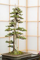 Bonzai tree - Juniperus rigidus ( Formal upright style ). Heron's Bonsai - Chelsea 2005