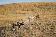 Trophy bull elk facing off during fall rut in Montana