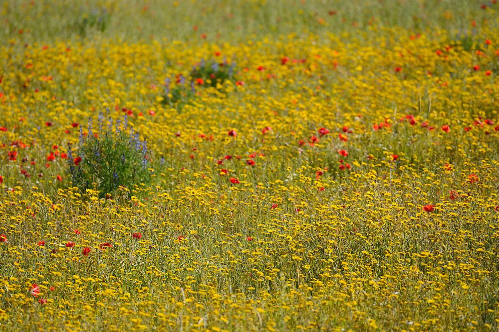 Mediterranean summer bloom,  Faia Brava reserve, Coa valley, Portugal, Western Iberia rewilding area