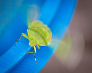 A green insect commonly known as a true bug, a member of the Hemiptera order which comprises some 50,000 to 80,000 species, crawls on a metal pole. (Sam Lucero photo)