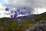 Wild bluebells grow everywhere on and around the mountain Fongen in the Skarvene and Roltdal national park, in Mid-Norway. blåklokker overalt ved Ramsjøhytta og Fongen, Tydal.