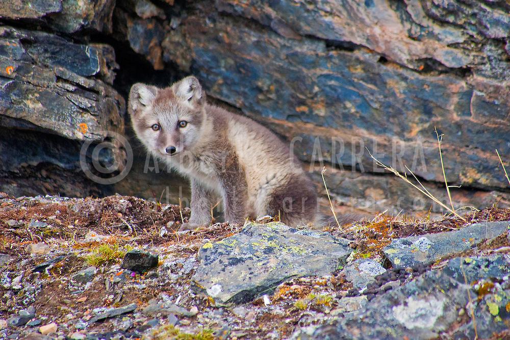 Alberto Carrera, Arctic Fox, Vulpes lagopus, Signehamna Harbor, Nordvest-Spitsbergen National Park, Krossfjord, Arctic, Spitsbergen, Svalbard, Norway, Europe