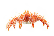 [captive] Southern king crab (Lithodes santolla) [size of single organism: 15 cm] Comau Fjord, Patagonia, Chile |