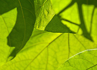 Chateau de Sauvage, France. Close-up of sunshine through leaves highlighting leaf structure and veins.