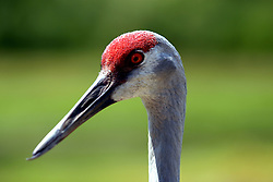 01 July 2006  A quick vacation through Iowa to Omaha.  ..sandhill crane (Photo by Alan Look)