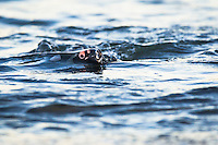 African Penguin swimming through the water, Bettys Bay Marine Protected Area, Western Cape, South Africa