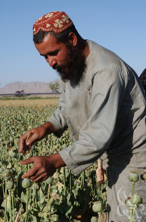 """Afghan farmer Abdul Samad prepares poppy bulbs for harvest by slicing them with razors (""""scoring"""") in the field May 16, 2002 near the city of Kandahar, in southern Aghanistan. Despite Afghan and coalition efforts at eliminating the crops used to produce opium and heroin, Afghan farmers in Southern Afghanistan continue to embrace poppies for their high cash value and hardiness."""