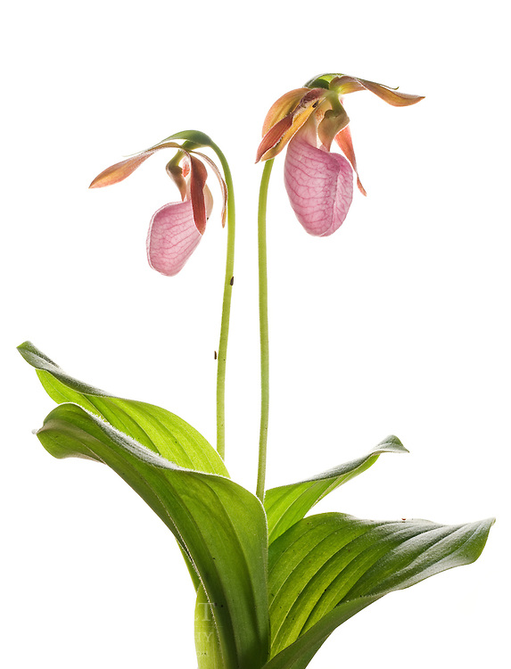 Pink Lady Slipper Orchid (Cypripedium acaule), South Carolina.