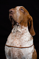 © Licensed to London News Pictures. 11/03/2016. Birmingham, UK. A Bracco Italiano named Oscar at Crufts 2016 held at the NEC in Birmingham, West Midlands, UK. The world's largest dog show, Crufts is this year celebrating it's 125th anniversary. The annual event is organised and hosted by the Kennel Club and has been running since 1891. Photo credit : Ian Hinchliffe/LNP