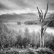 Tree, Loch Assynt, Sutherland