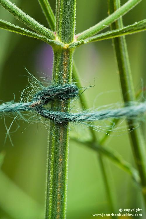 Staking dahlias. Detail of garden twine looped around stem