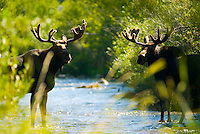 A pair of moose wade through a stream in Jackson Hole, Wyoming.