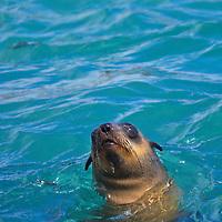 Alberto Carrera, Cape Fur Seals, Arctocephalus pusillus, Shark Alley, Geyser Rock, Dyer Island, Gansbaai, Western Cape, South Africa, Africa