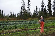 LIVING OFF THE GRID<br /> Jennifer Castellani harvesting leek at their organic farm. <br /> Anchor Point, Alaska, USA