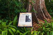 Jelawai Heritage Tree at Singapore Botanic Gardens, Singapore, Republic of Singapore