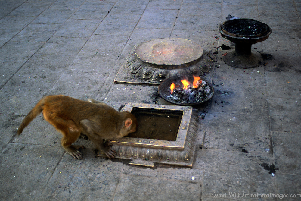 Asia, Nepal, Kathmandu. A monkey sneaks a drink of water at the Monkey Temple, Swayambhunath Stupa in Kathmandu.