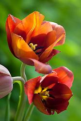 Tulipa 'Copernicus' (Breeder tulip)