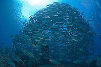 Bigeye Trevally School Envelops a Diver
