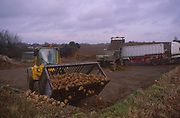 A3AAX7 Sugar beet being loaded by tractor onto lorry trailer for transport