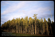 02: EVERGLADES MELALEUCA TREES
