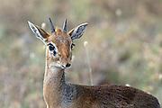 Dik-dik in East African habitat