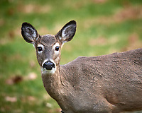 Doe looking at me. about me. Image taken with a Nikon D5 camera and 600 mm f/4 VR telephoto lens (ISO 720, 600 mm, f/4, 1/640 sec).