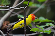 Western tanager in a Saskatoon Serviceberry tree in summer. Yaak Valley in the Purcell Mountains, northwest Montana.