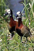 A pair of white-faced whistling ducks at the London Wetland Centre, Barnes, London