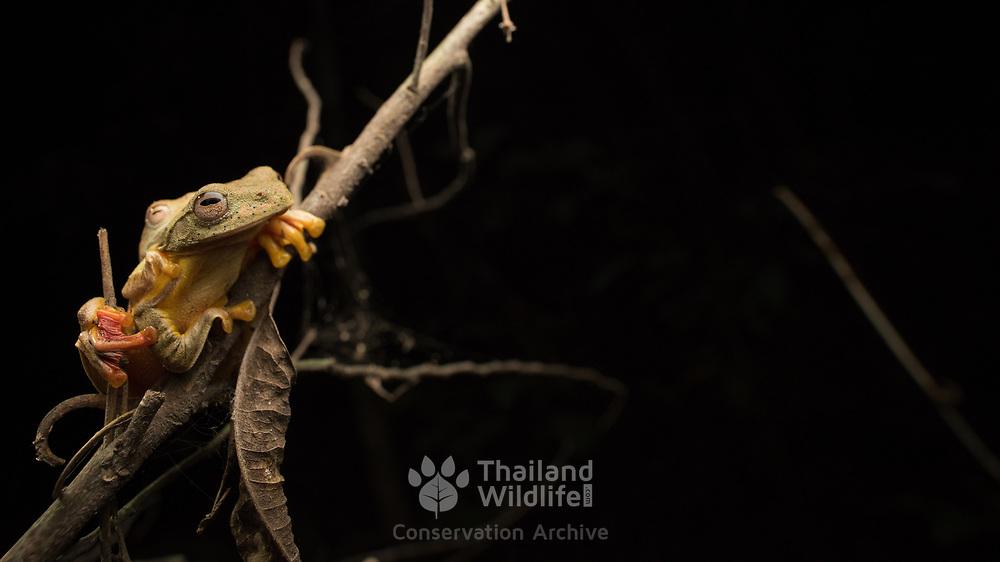 Red webbed tree frog (Rhacophorus rhodopus) amplexus in situ in Kaeng Krachan national park, Thailand