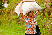Apr. 22 - UBUD, BALI, INDONESIA: A woman carries harvest rice home near Ubud, Bali.  Rice is an integral part of the Balinese culture. The rituals of the cycle of planting, maintaining, irrigating, and harvesting rice enrich the cultural life of Bali beyond a single staple can ever hope to do. Despite the importance of rice, Bali does not produce enough rice for its own needs and imports rice from nearby Thailand.   Photo by Jack Kurtz/ZUMA Press.