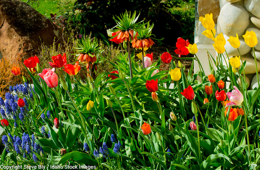 Flowers, A flower bed of spring Tulips and Fritillaria Bulbs. USA