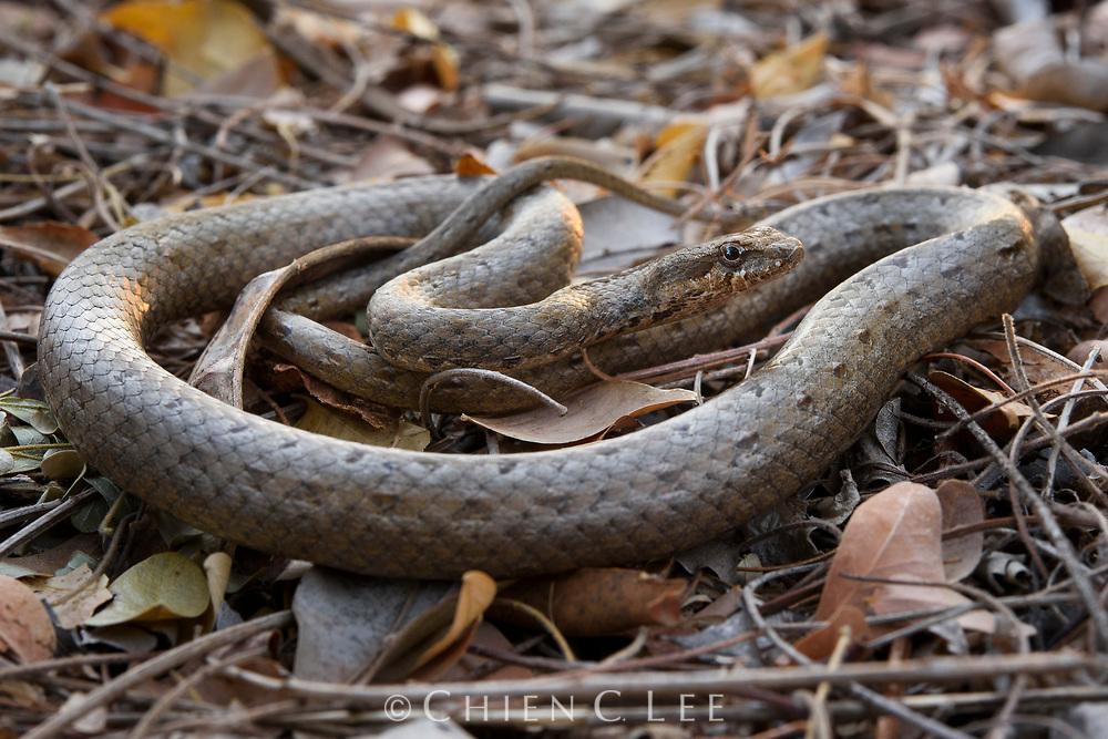 Common Big-eyed Snake (Mimophis mahfalensis). Toliara, Madagascar.