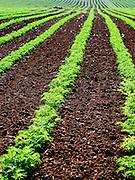endless Lettuce field, Galilee, Israel