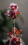 A stalk of vivid red scarlet maroon and pink orchid flowers