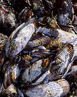 Colony of California Blue Mussels ( mytilus californianus) on beach of the Oregon Coast USA
