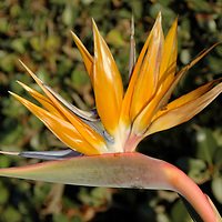 A  Strelitzia Reginae (aka Bird of Paradise)  blooms at Palisades Park in Santa Monica on Monday, November 22, 2010. Bird of paradise is a tropical-looking plant with paddle-shaped leaves and exotic flowers that resemble a bird's beak.