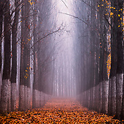 Straight columns of poplar trees in a misty forest