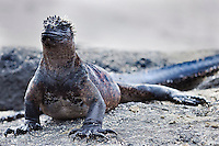 Marine Iguana sunning itself on the rocks to warm up. Animal photography prints for sale. Fine art photography wall art, stock images