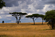 Acacia tree at Serengeti National Park, Tanzania