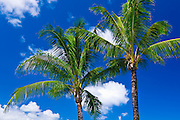 Coconut palms and blue sky, Island of Kauai, Hawaii