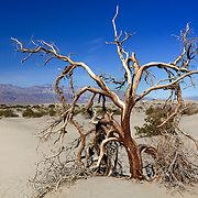 Dead Mesquite Tree - Mesquite Dunes - Death Valley, CA