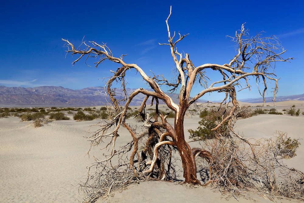 Dead Mesquite Tree - Mesquite Dunes - Death Valley, CA