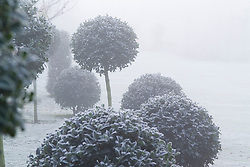 Frosty morning in John Massey's garden. Standard topiary balls of holly - Ilex aquifolium 'Siberia'