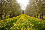 Springtime dandelion flowers growing amid cider orchard rows near Eardisley, Herefordshire, United Kingdom